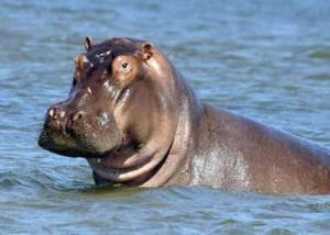 نفوق فرس نهر بعد تعرضه لهجوم بحديقة حيوان في السلفادور