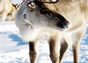 """حيوان """"الرنة"""" الكندي مهدد بالانقراض"""