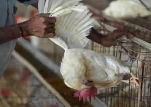 تشيلي ترصد إنفلونزا الطيور في مزرعة للدواجن