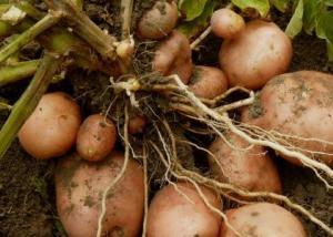 قريبا ..زراعة نوع جديد من البطاطس بمناخ مماثل لكوكب المريخ